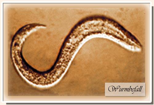 darmwürmer beim menschen bilder